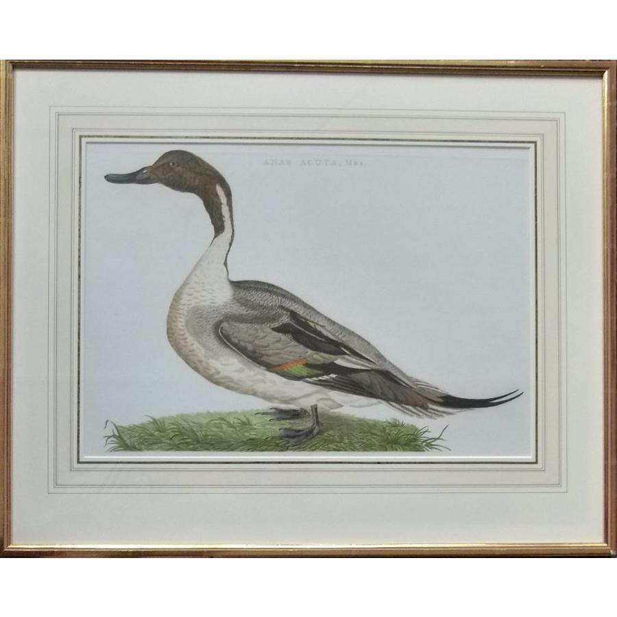 Gouldmaps Pijlstaart; C. Nozeman - Anas Acuta, Mas. - 1789