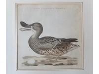 Gouldmaps Slobeend; C. Nozeman / J.C. Sepp - Anas Clypeata, Foemina. - 1797