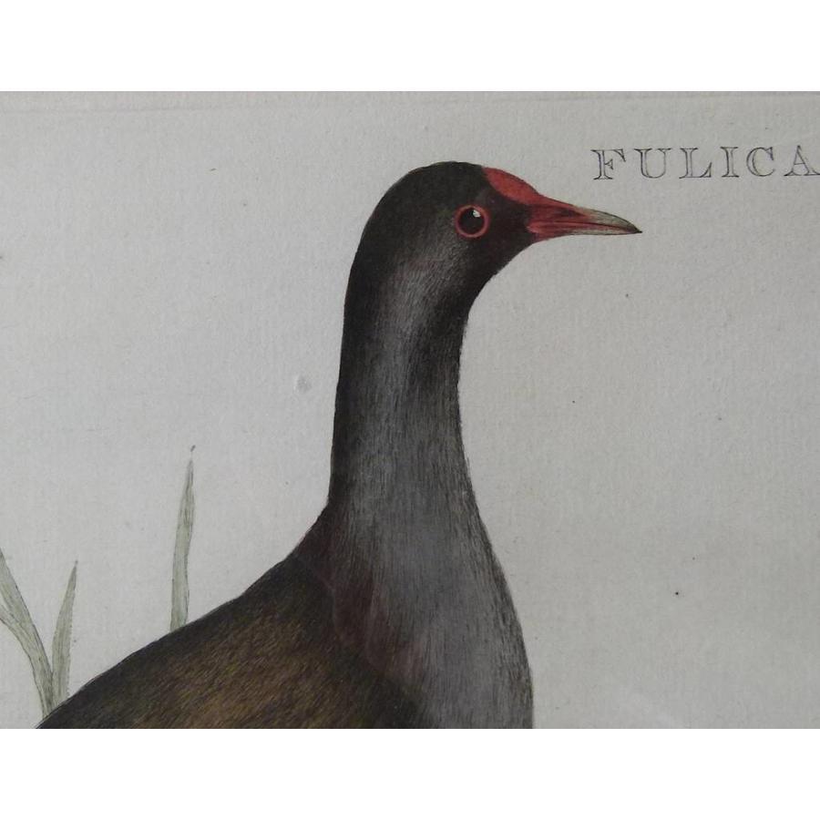 Gouldmaps Waterhoen; C. Nozeman - Fulica Chloropus - 1770