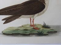 Gouldmaps Schaarbek; C. Nozeman - Rhynschops Nigra - 1829