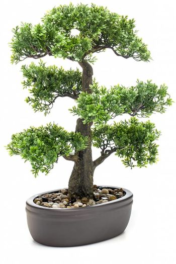 Ficus mini bonsai 43cm on plate bro
