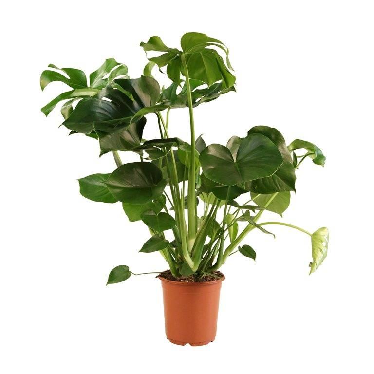 Monstera of gatenplant