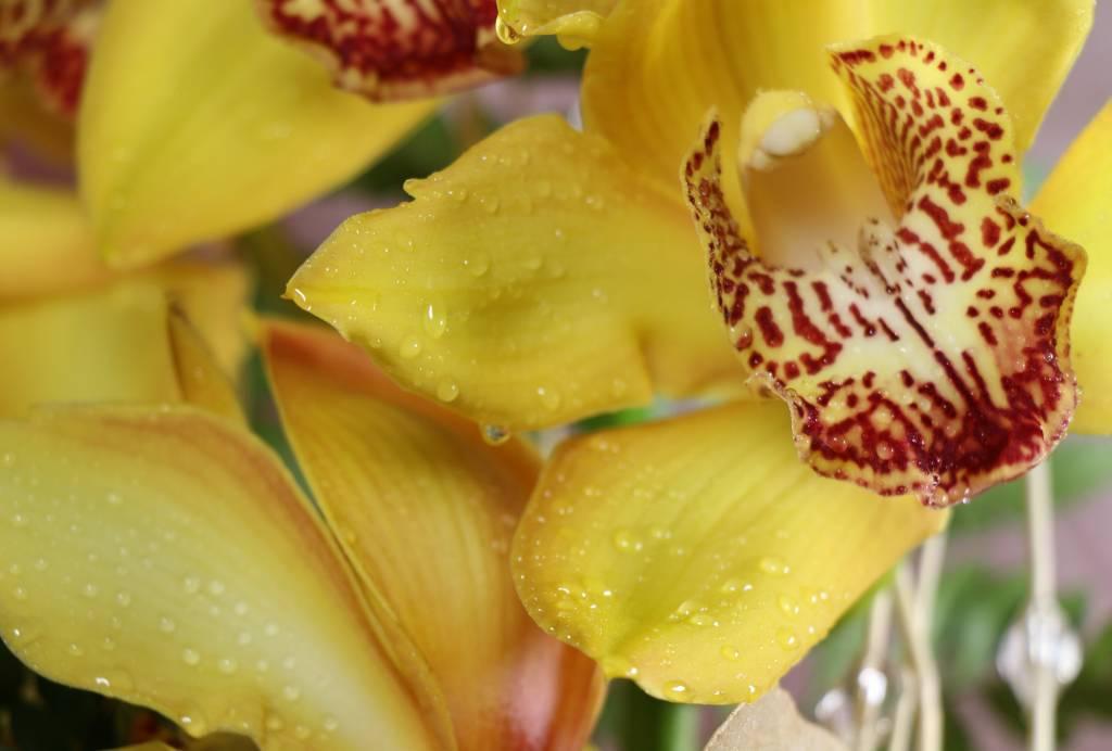 ORCHIDEA confezionata in vaso