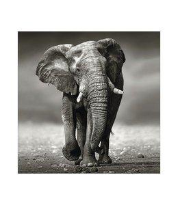 Grijze olifant