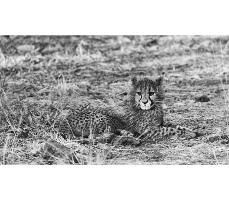 Cheetah in het wild
