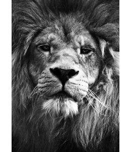 Lion 30x40
