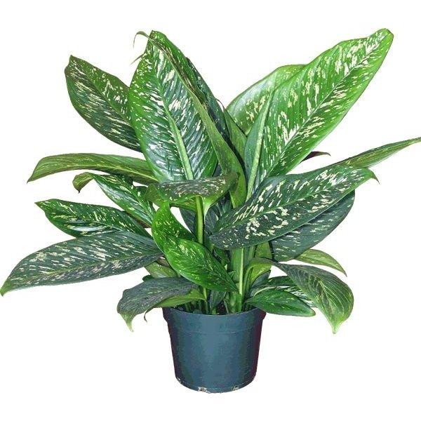 Dieffenbachia (Groen gevlekt) Iiving Wall mini plant