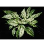 Aglaonema - Living wall mini plant
