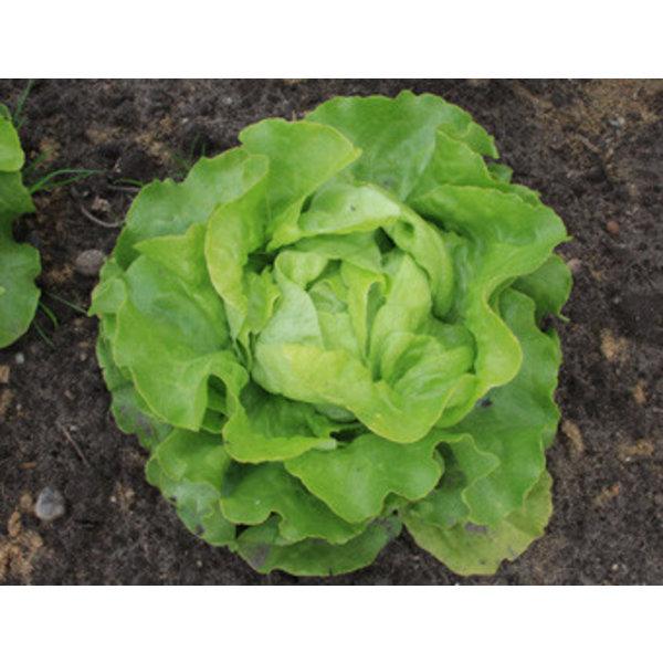 Kropsla zaden - Lactuca sativa