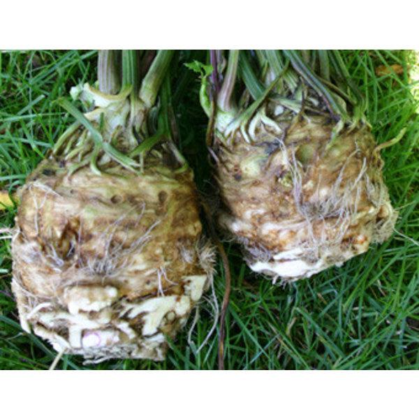 Knolselderij zaden - Apium graveolens var. rapaceum