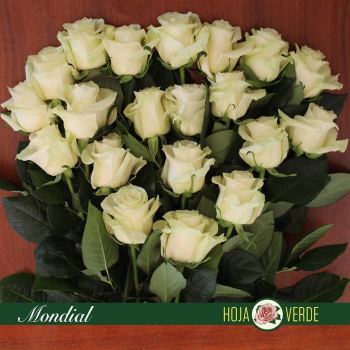 Roos Mondial, wit, uit Ecuador