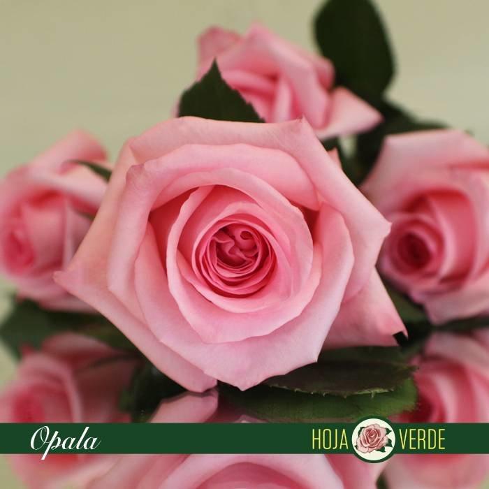 Roos Opala