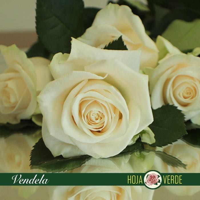 Roos Vendela, crème, uit Ecuador
