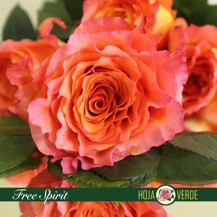 Roos Free Spirit, zalm oranje, uit Ecuador