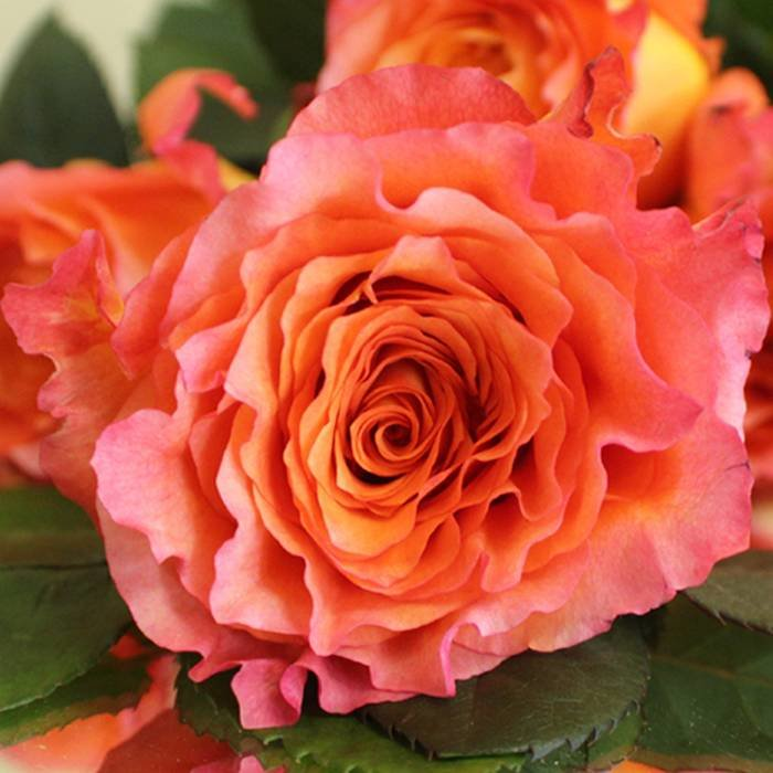Hoja Verde rozen