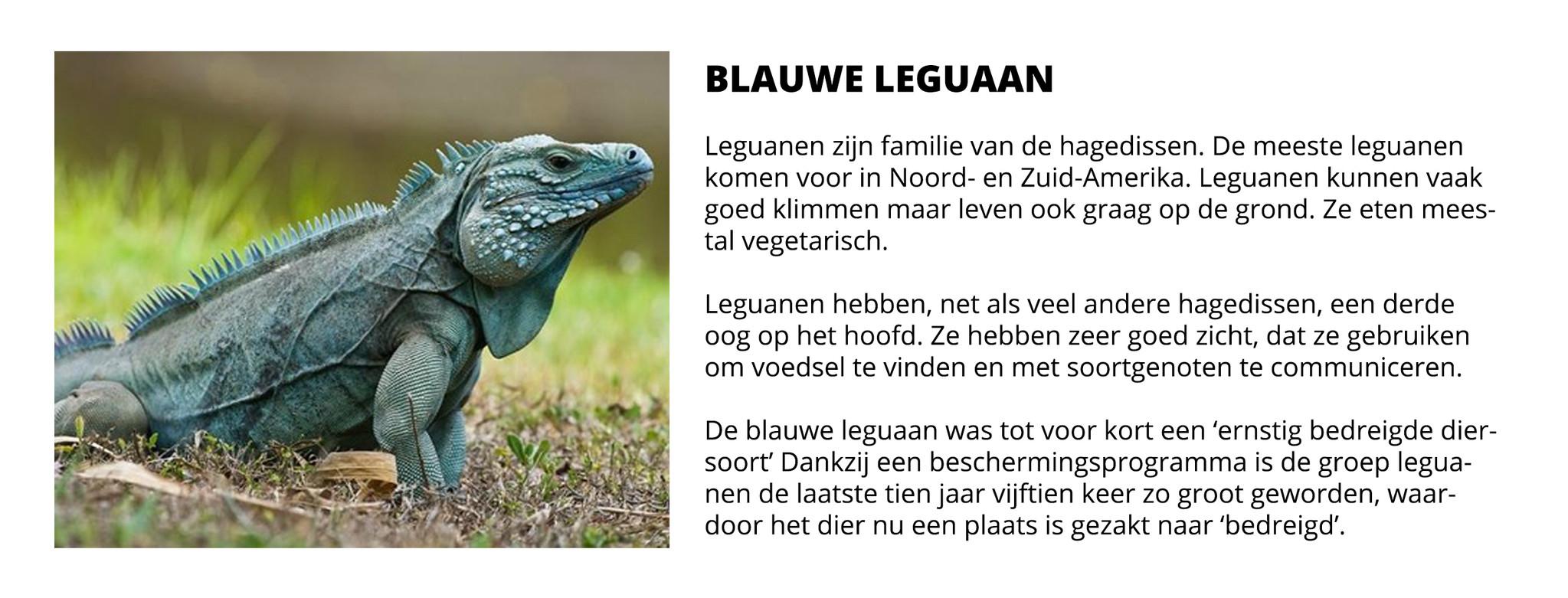 Blauwe Leguaan