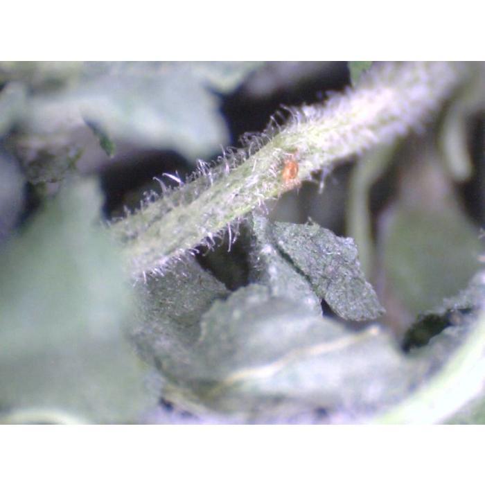 Spidex, 2000 roofmijten tegen Spint