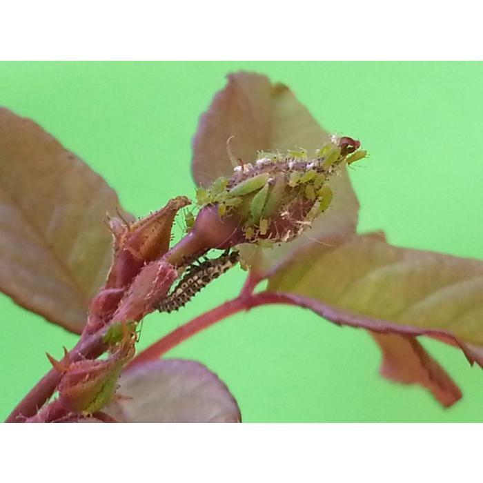 100 Larven van lieveheersbeestje tegen bladluis