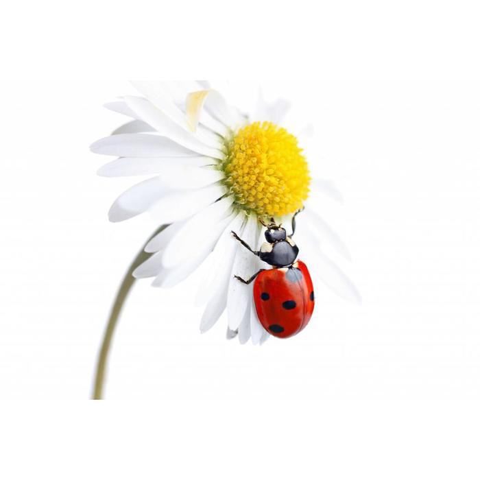 Larven van lieveheersbeestje tegen bladluis