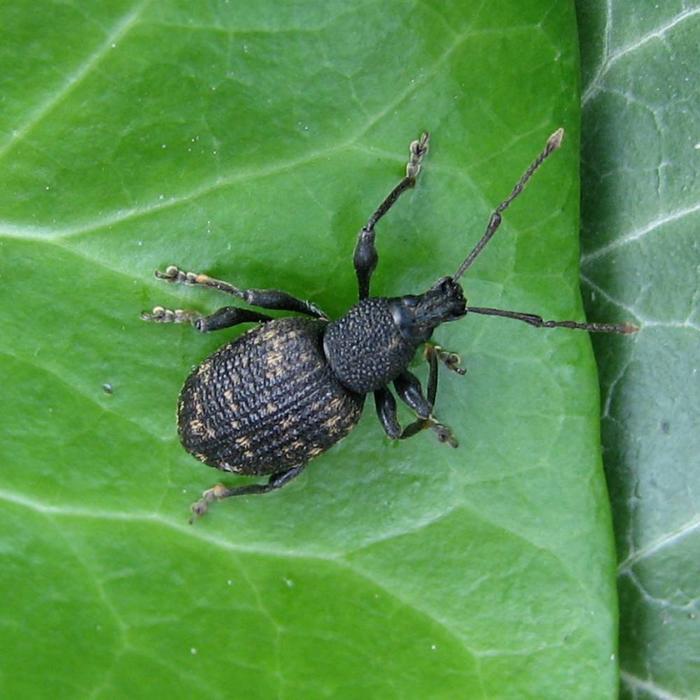 Aaltjes om larven van Taxuskever te bestrijden voor 100m²  Bodemtemperatuur <5ºC.