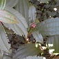 Aaltjes om larven van Taxuskever te bestrijden voor 500m²  Bodemtemperatuur <5ºC