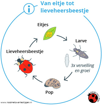 Gebruiksaanwijzing larven van lieveheersbeestje als bestrijder van bladluis