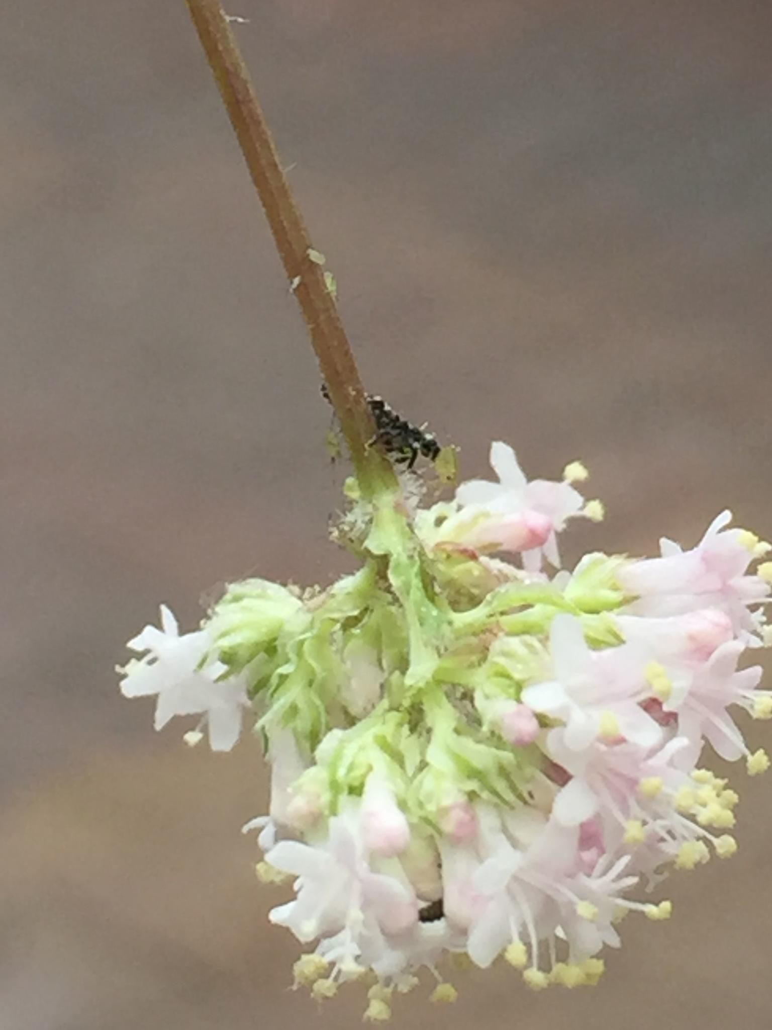 larve van lieveheersbeestjes op bloem met luis