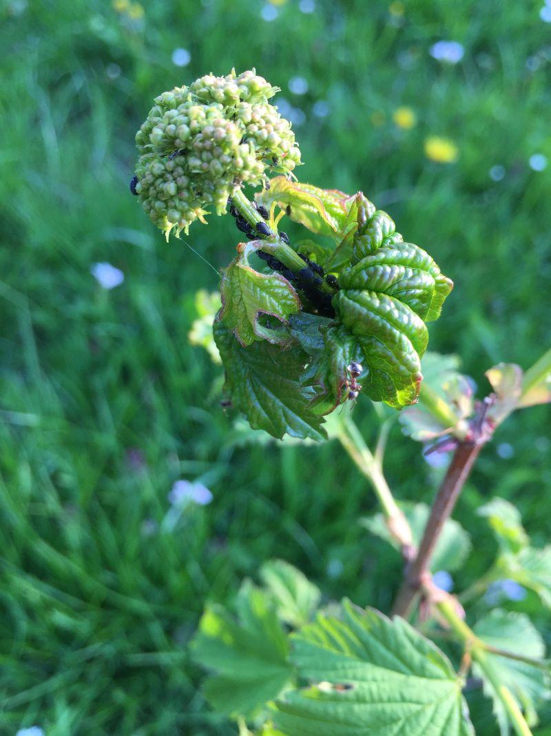 Zwarte bladluis op knop van struik