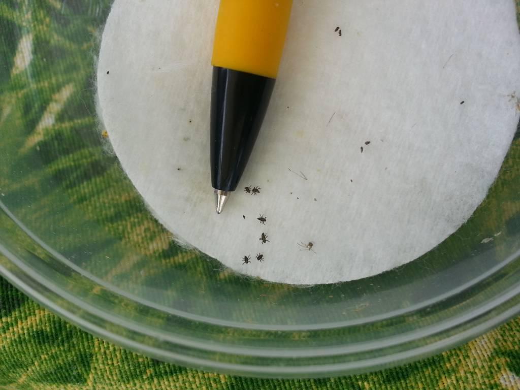 larven van lieveheersbeestje bij pen punt