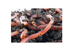 Visaas mestwormen - Uitsluitend in winkel afhalen