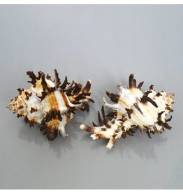 Schnecke stachlige Hexa
