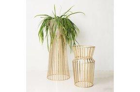 Plant standard solstice L