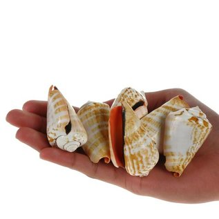 Blood Mouth Conch