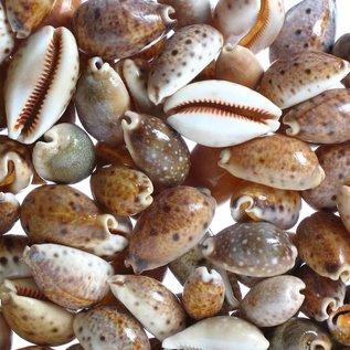 Assorted Lynx Cowries