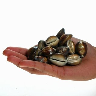 Assorted Snakeshead Cowries