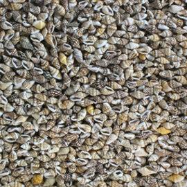 Dove Shells
