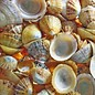 English Limpets