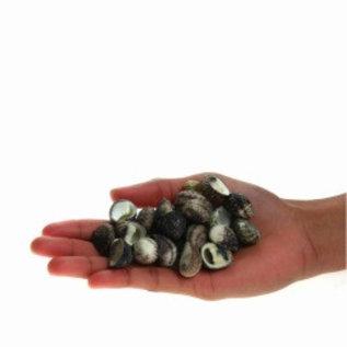 Assorted Black Nerita