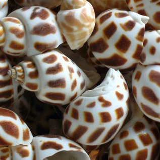 Assorted Spotted Babalone