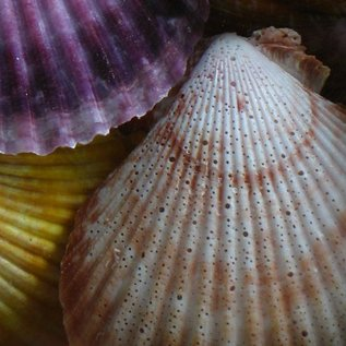 Coloured Pecton Nobilis
