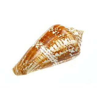 Medium Amadis Cone 3-5cm