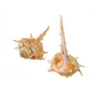 Bolinus Cornutus.
