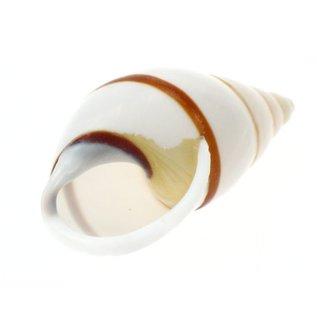 White Striped Snail 3cm