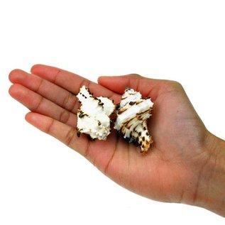 Small Zebra Murex 3cm