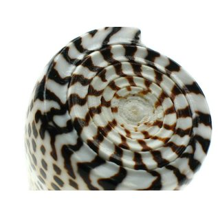 Litteratus Cone 8-9cm