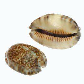 Medium Arabica Cowrie 3-4cm