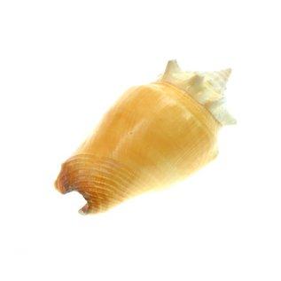 Primrose Conch 5cm