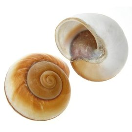 Giant Brown Snail 7cm