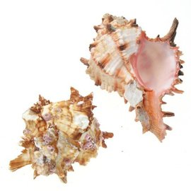 Medium Pink Hoplites Murex 5cm