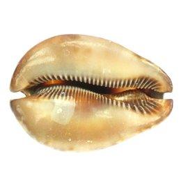 Medium Stercoraria Cowrie 5-6cm